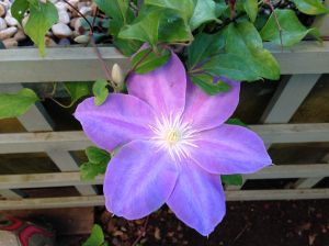 flower - clematis