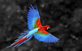 Scarlet macaw spirit