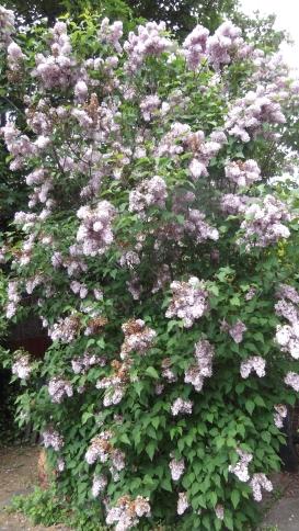 Lilac2