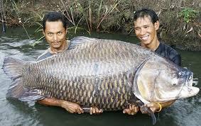 massive fish